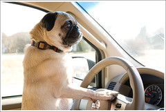 Next Step: Check Your Rearview Mirror ([Christine]) Tags: dog driving searchthebest pug 452 wookie anawesomeshot impressedbeauty 52weeksfordogs