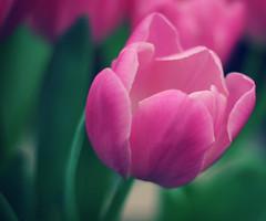 [フリー画像] [花/フラワー] [チューリップ] [ピンク/花]        [フリー素材]