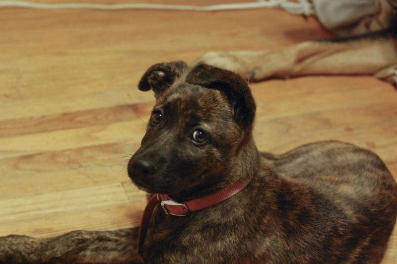 boxer pitbull german shepherd mix myideasbedroomcom