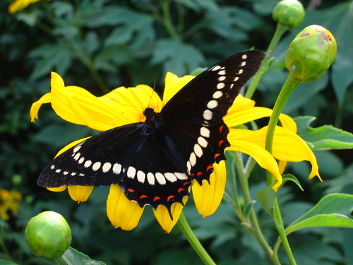 animals insects butterflies black yellow green