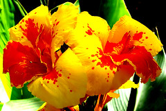 Canna lily (KurtQ) Tags: flowers red india june yellow 07 canna dharamsala mcleodganj cannalily monasterygarden tsechoklingtibetanmonastery kurtq awesomeblossoms