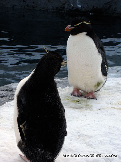 Two Rockhopper Penguins