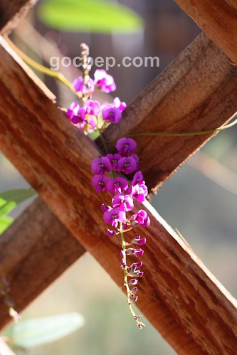 purple lilac vine--happy gardening!