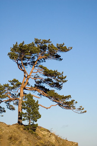 lonely pine 2