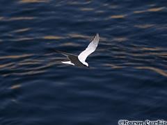 Gull-Billed Tern (phrixus nyx) Tags: slr bird d50 river nikon egypt nikond50 aswan tern kitchenersisland gullbilledtern sternanilotica nilecruise rivernile sigma70300mm