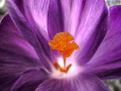 All the  World's a Stage (pls read) (ecstaticist) Tags: light orange flower macro photoshop prime poem ode purple notice shakespeare crocus literature stages petal driveway cycle stamen apology bloom passing fleeting hdr ral photomatix