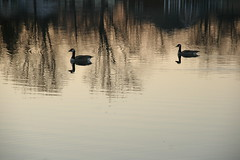 Quiet Reflections (JKissnHug - Busy Watching Osprey) Tags: michigan canadiangeese myfrontyard commercetwp cooleylake