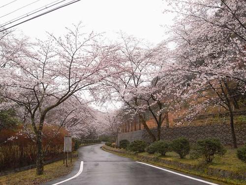 09-03-21【桜】@奈良県下北山村