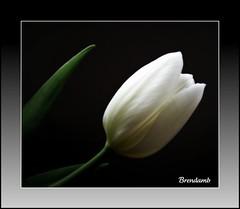 ~~ Not Quite Black & White ~~ (Brenda Boisvert .) Tags: white flower macro fun spring searchthebest tulip artistslounge flowerlovers bej perfectpetals mywinners abigfave notquiteblackwhite crystalaward diamondclassphotographer flickrdiamond photosandcalendar citrit nothingbutthebest theunforgettablepictures concordians goldsealofquality theperfectphotographer goldstaraward ilovemypics explorewinnersoftheworld qualitypixels exploreflowers flickrsawesomeblossoms makesmybonessing sensationalcreationsofexcellence obq oracleofbeautyandquality theflowerbasket masterpiecesonblack brendamb gardenparadise updatecollection freedomhawkgalleryofexcellence