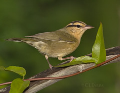 Worm-eating Warbler (ChristinaLEvans) Tags: color bird horizontal spring florida migration warbler perching woodwarbler helmitherosvermivora wormeating