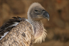 Young African White-backed Vulture (Foto Martien) Tags: africa france frankreich african demonstration raptor alsace hunter savannah frankrijk vulture birdofprey demonstratie elsas gyps elzas hautrhin whitebackedvulture greifvogel roofvogel voleriedesaigles kintzheim africanwhitebackedvulture gypsafricanus sigma70300apomacro a350 vautourafricain witruggier sonyalpha350 naturethroughthelens weisrckengeier buitredorsiblancoafricano gypsafricain martienuiterweerd martienarnhem whitebackedgriffonvulture chateaudekintzheim avvoltoiogrifoneminore