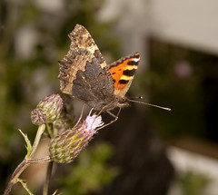 """Small Tortoiseshell butterfly (aglais(8) • <a style=""""font-size:0.8em;"""" href=""""http://www.flickr.com/photos/57024565@N00/3762377453/"""" target=""""_blank"""">View on Flickr</a>"""
