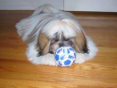 Dex (Liv and Ryan) Tags: shihtzu dex