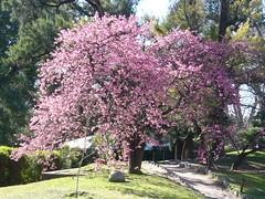 Tive sorte de ainda pegar cerejeiras em flor