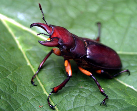 common-stag-beetle.jpg