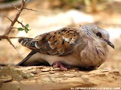 قميري Turtle Dove