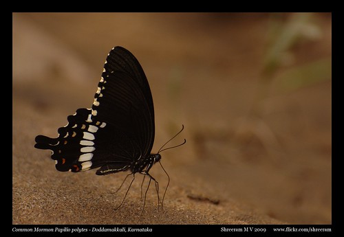 Common Mormon - Mud Puddling