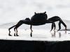 Crab (S U J A) Tags: crab seafood maldives dhivehi dhivehiraajje malemaldives raajje artificalbeach