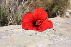 Auf der Mauer (Rubina V.) Tags: city red plant flower nature spain andalusia mlaga