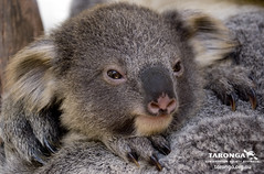 Lincoln the Koala joey looking very sleepy indeed! (Taronga Conservation Society Australia) Tags: koala babyanimal