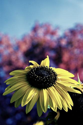236b:365 Autumn sunflower