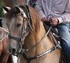 One of the horses (ahhhrats) Tags: autumn horse kentucky parade daze vinegrove