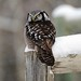 Northern Hawk Owl - Winter