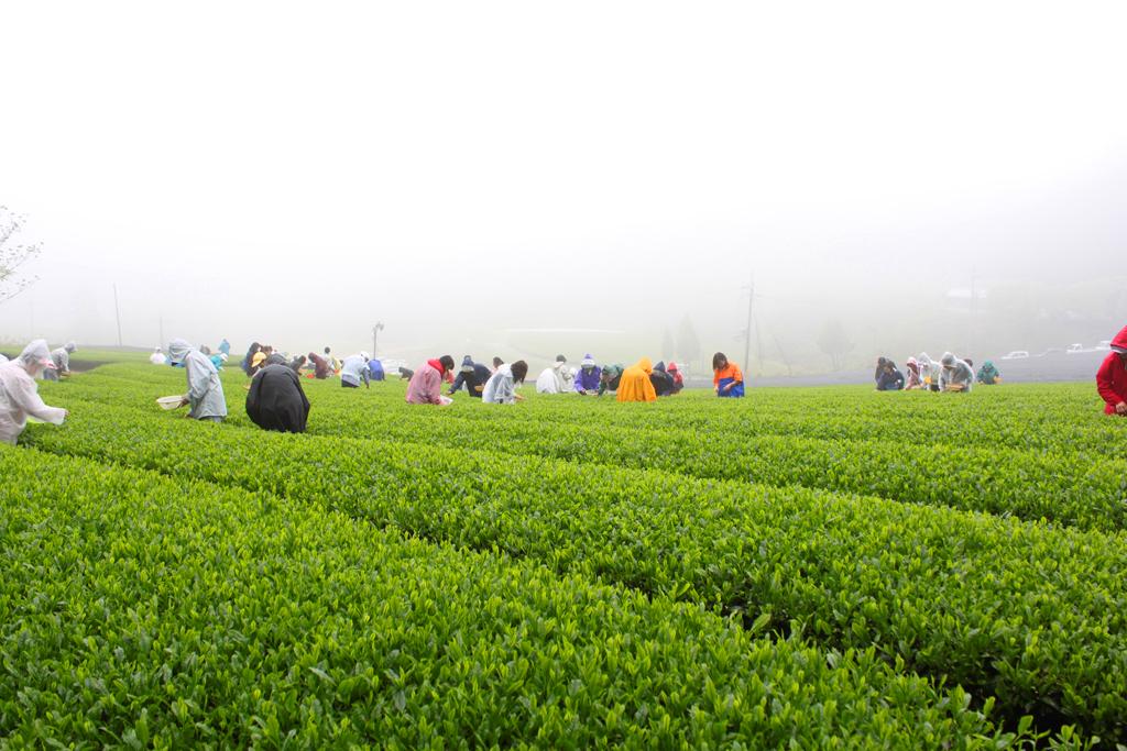 Inokura tea garden (9)