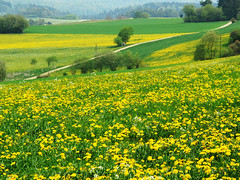 Under domination of dandelion (Batikart) Tags: road travel vacation sun holiday plant flower color colour tree green nature field grass yellow fo