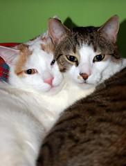 Cute cats (maciek.marek) Tags: cats pets cute nature animal animals cat cool kitten kitty natura katter koty kot katt gatta zwierzeta zwierzaki