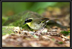 Yellow-throated Scrubwren, Lamington NP, 7.1.09 (Callocephalon Photography) Tags: black male bird moving rainforest angle fast australia qld gree lamingtonnp scrubwren yellowthroated lyingontheground seqld sigma50500mmf463 sericorniscitreogularis canoneos40d canonspeedlite580exii yellowthroatedscrubwren