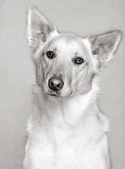 Winston (Piotr Organa) Tags: portrait bw dog pet white toronto canada black cute animal puppy labrador shepherd retriever german flickrlovers