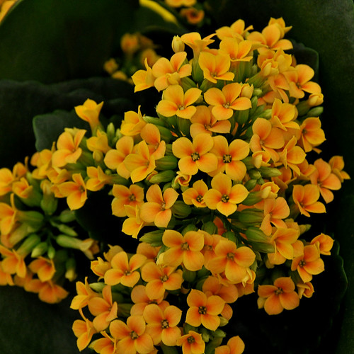 Fotos de la Colorida Kalanchoe