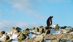 Lone Gentoo penguin (chris.bryant) Tags: sky sun snow cold cute ice beautiful fur penguins afternoon stones wildlife antarctica solo picturesque isolated gentoopenguins flickraward aplusphotos concordians platinumheartaward thepefectphotographer qualitypixels vanagram grouptripod artofimages expressyourselfaward platinumbestshot flickrunitedaward