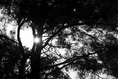 light please. (Bogdan_b) Tags: bw white black tree pine sony greece a200 dt bogdan 1870