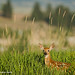 Andrew Metcalf|Fawn in the Tall Grass