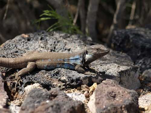 He may not be monitor sized, but hes a handsome chap neverthless - Lagarto Tizon, native to Tenerife