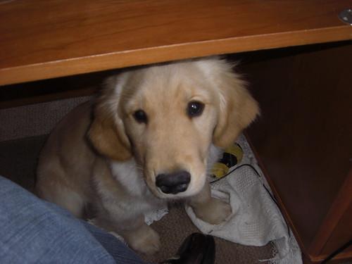 shamus under desk