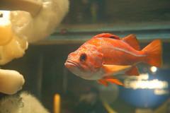 Red rockfish