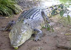 Crocodile_sleeping_Australia