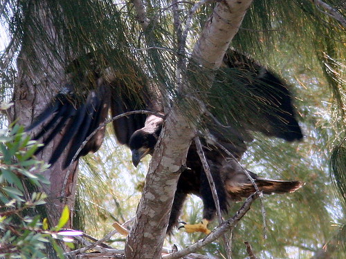 Eaglet Jumping 20090322