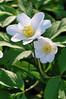 Wood Anenomes (Missy2004) Tags: white green wildflower newforest nikond60 woodanenome pfogold pfosilver beautifulworldchallenges nikkor70300mmf4556afsifedvr