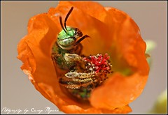 Green Metalic Bee in a Globe Mallow (MasterTaker) Tags: flower macro cute green closeup canon wonderful happy rebel spring focus perfect flickr raw dof shot little tag great creative super 100mm best bee stamen 100 soe breathtaking metalic outstanding peral rebal topshot rebell macroextreme btg canonef100mmf28usm 100comments sooc greenmetalicbee platinumphoto aplusphoto macrophotosnolimits theunforgettablepictures macrolife rubyphotographer breathtakinggoldaward fantasticinsect 1000d 100commentgroup artofimages thepinnaclehof macrolifeelite tphofweek34 canonebelxs