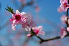 Cherry blossoms (TomFalconer) Tags: california pink flowers blue cherry spring blossom shanemcconkeyrip