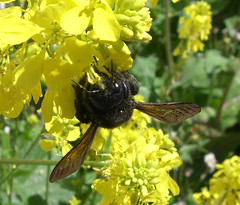 Spring is here! (Scott Schreiber Jewelry Design) Tags: giant bees friendly carpenterbees xylocopa