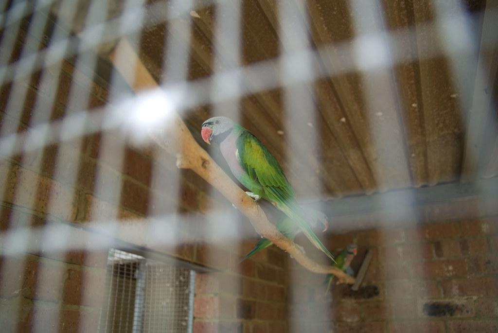 The World's Best Photos of bird and psittaculaalexandri