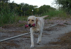 ROGER  ( EXPLORE) (su-sa-ni-ta) Tags: dog labrador retriever perro paseo roger mascota awesomeshot flickrestrellas goldenheartaward oletusfotos flickrlovers1yearsold
