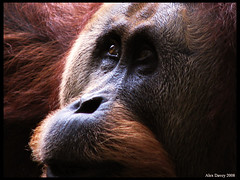 Orangutan-Indonesia (alexdavey49) Tags: indonesia jungle orangutan wiseoldman