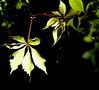 Light . (Doc Albores) Tags: méxico hojas durango lerdo clarobscuro