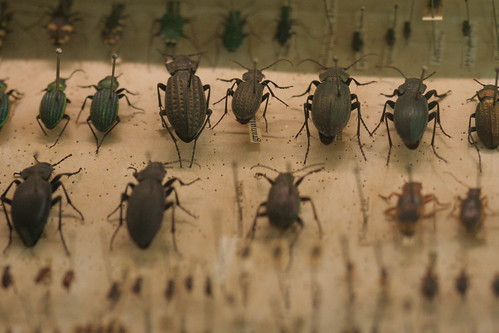 Charles Darwin's beetles collection